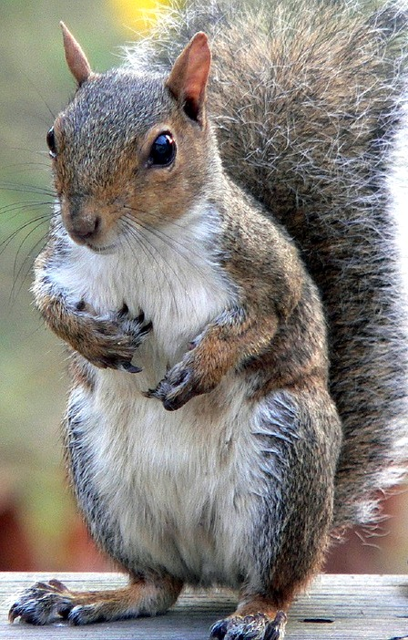 eastern-grey-squirrel-1163738_960_720-001